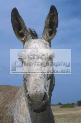 donkey head horses equus equine animals animalia natural history nature misc. caribbean oceans