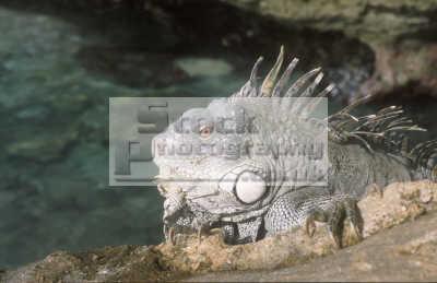 iguana rocks bonaire reptiles reptilia reptilian animals animalia natural history nature misc. caribbean oceans netherlands antilles
