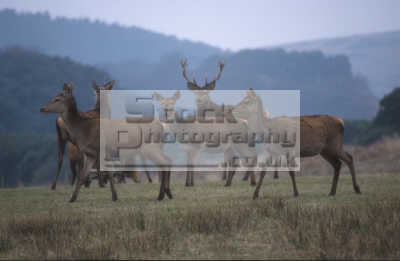 herd red deer cervus elaphus animals animalia natural history nature misc. england english angleterre inghilterra inglaterra united kingdom british