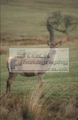 red deer doe cervus elaphus animals animalia natural history nature misc. england english angleterre inghilterra inglaterra united kingdom british