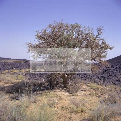 frankincense tree boswellia spp. produces incense rub al khali desert yemen desolate natural history nature misc. africa yemeni