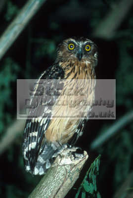 buffy fish owl danum valley sabah borneo birds aves animals animalia natural history nature misc. malaysia bird night asia malaysian