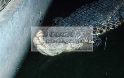 rescued crocodile deformed kept cage small. sandakan sabah animals animalia natural history nature misc. small animal borneo malaysireptile malaysia asia malaysian