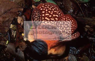 world largest flower rafflesia pricei opening. species parasite tetrastigma vines. tambunan sanctuary borneo sabah flowers plants plantae natural history nature misc. malaysia asia malaysian