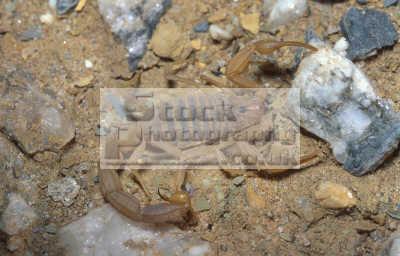 scorpion scorpionida sp. yemen animals animalia natural history nature misc. desert arabia quarter hosheish africa yemeni