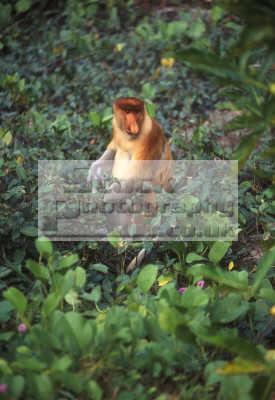 proboscis monkey foraging ground eating nasalis larvatus endemic borneo feeds leaves sabah malaysia labuk bay sanctuary monkeys primates animals animalia natural history nature misc. asia malaysian