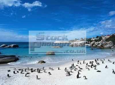 simons town beach penguin colony southern african travel south africa afrikaans