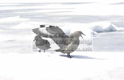 grey seagulls antarctica birds aves animals animalia natural history nature misc. bird snow cold pair polar antarctican