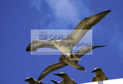 brown boobies galapagos ecuador south america group flight birds aves animals animalia natural history nature misc. flying darwin evolution pacific oceanic sea oceans ecuadorian