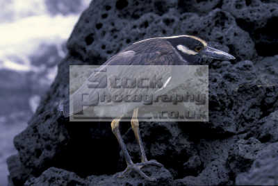 yellow-crowned yellow crowned yellowcrowned night heron nyctanassa violacea galapagos ecuador south america birds aves animals animalia natural history nature misc. endangered wildlife darwin evolution pacific oceanic sea oceans ecuadorian