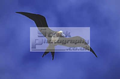 great frigatebird fregata minor juvenile isla seymour galapagos ecuador south america. flight birds aves animals animalia natural history nature misc. flying darwin evolution pacific oceanic sea oceans ecuadorian