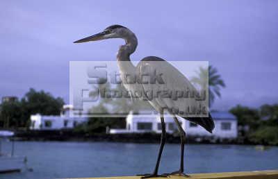 great blue heron ardea herodias galapagos ecuador south america birds aves animals animalia natural history nature misc. endangered wildlife darwin evolution pacific oceanic sea oceans ecuadorian