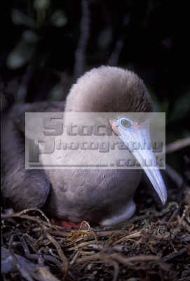 red-footed red footed redfooted booby sula galapagos ecuador south america. nest birds aves animals animalia natural history nature misc. endangered wildlife darwin evolution pacific oceanic sea oceans ecuadorian