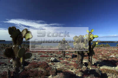 prickly pear opuntia cactaceae endemic common cacti galapagos islands. staple land iguanas tortoises diet. wilderness natural history nature misc. landscape darwin evolution pacific oceanic sea oceans ecuador ecuadorian