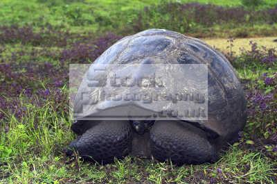 giant galapagos tortoise geochelone elephantopus testudinidae animals animalia natural history nature misc. endangered wildlife eco tourism tourists darwin evolution pacific oceanic sea oceans ecuador ecuadorian