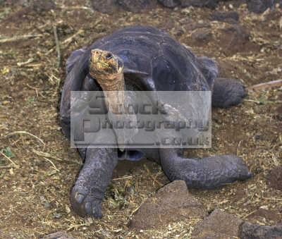 giant galapagos tortoise. geochelone elephantopus saddle-back saddle back saddleback tortoise testudinidae animals animalia natural history nature misc. endangered wildlife eco tourism tourists darwin evolution pacific oceanic sea oceans ecuador ecuadorian