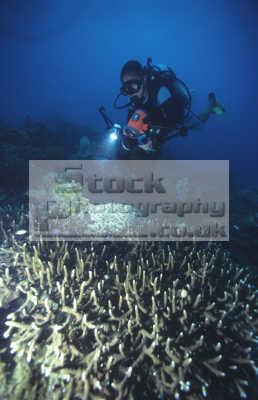 amillson baragus staghorn acropora coral ikon rock. pulau lankayan sulu sea sabah borneo malaysia divers diving people scuba underwater marine asia malaysian