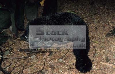 binturong arcticitis bearcat crocker mountains national park sabah borneo malaysia. animal prehensile tail. animals animalia natural history nature misc. malaysia asia malaysian