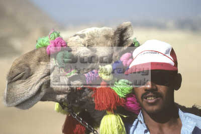 decorated camel owner pyramids giza cairo egypt animals animalia natural history nature misc. pharoh middle east egyptian