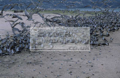 beach. reef bird colony south islet tubbataha sulu sea philippines. nests eggs laid directly sand. mainly sooty terns sterna fuscata birds aves animals animalia natural history nature misc. phillipines pacific oceanic oceans philippines philippino
