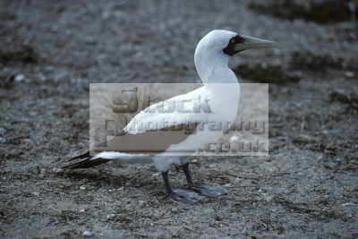 masked booby sula dactylatra nest north islet tubbataha reef sulu sea philippines birds aves animals animalia natural history nature misc. phillipines pacific oceanic oceans philippino