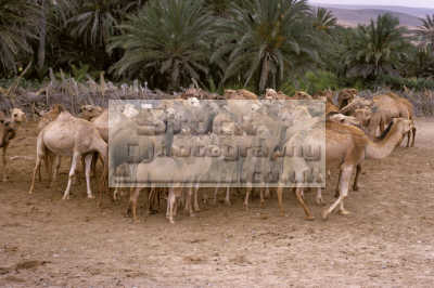 camel herd date palms oasis tafroute morocco animals animalia natural history nature misc. camels africa group maroc moroccan