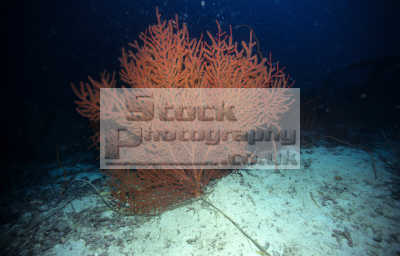 gorgonian sea fan acabaria species aeroplane wreck copton peninsula moalboal western cebu philippines. hard coral corals attached marine life underwater diving phillipines pacific oceanic oceans philippines philippino