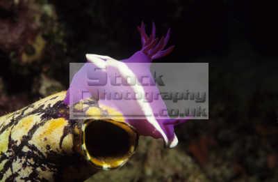 hypselodoris bullocki nudibranch polycarpa aurata sea squirt night pulau sipadan sabah borneo malaysia nudibranchia worm like marine life underwater diving asia malaysian
