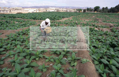 farmer using small fish feritilizer tobacco crop gail bawazir lower wadi hadramaut yemen. agriculture farming natural history nature misc. yemen africa yemeni