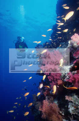 soft corals anthias diver david wright wall shark reef muhammad egypt red sea walls divers diving people scuba underwater marine denronophyta egyptian