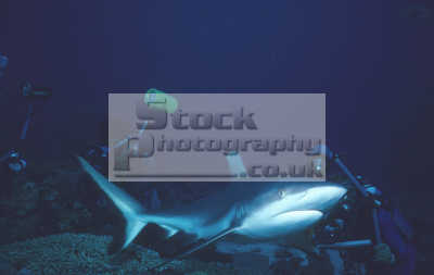 grey reef shark carcharhinus amblyrhynchos called shortnose blacktail wheeleri plus divers mike wong alex double sudan red sea. sharks carcharinidae fish pisces marine life underwater diving africa sudanese