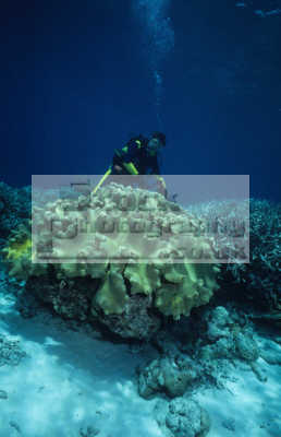 diver large leathery soft coral sarcophyton trocheliophorum pulau sipadan sabah borneo celebes sea malaysia corals attached marine life underwater diving asia malaysian