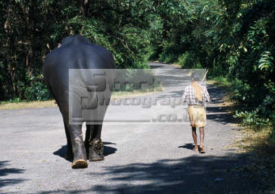 elephant walking trainer indian asian travel man stroll goa stick chain home india asia
