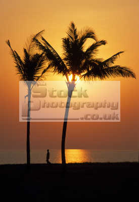 palm trees indian asian travel goa india sunset sky.leaves sky leaves skyleaves man walking asia