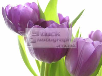 tulips flowers plants plantae natural history nature misc. purple close united kingdom british