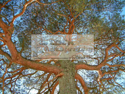 tree uplit snow mid-winter mid winter midwinter scotland trees wooden natural history nature misc. scenery winter strange christmas solstice scottish scotch scots escocia schottland united kingdom british