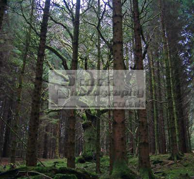oak tree quercus rober entrapped forest norway spruce picea abies trees wooden natural history nature misc. english proud prison metaphor deciduous coniferous pine wood symbolic scotland scottish scotch scots escocia schottland united kingdom british