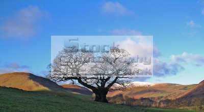 old lone oak tree quercus rober stands silent field scaur glen weak winter sun trees wooden natural history nature misc. proud guard flora metaphor sky hills scotland scottish scotch scots escocia schottland united kingdom british