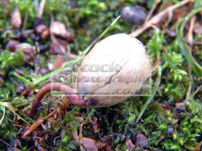 acorn attempts establish ground hoping fully grown oak tree quercus robur trees wooden natural history nature misc. life birth spring fight develop nurture begin genesis scotland scottish scotch scots escocia schottland united kingdom british
