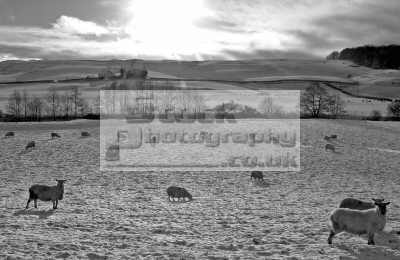 sheep winter snow covered fields rural britain countryside rustic pastoral environmental uk cold sunlight arable farming farmland agriculture black white scotland scottish scotch scots escocia schottland united kingdom british