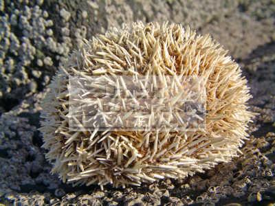 common sea urchin echinus esculentus deep waters coast washed ashore. spiny creature favourite food otter skinned marine life underwater diving ayrshire scotland scottish scotch scots escocia schottland united kingdom british