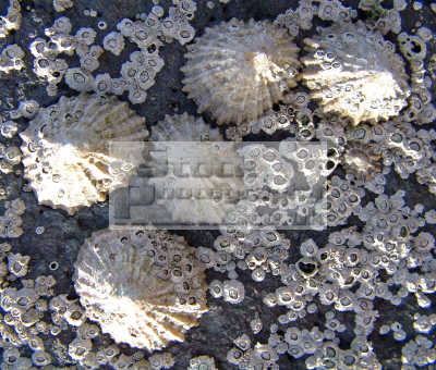 limpets patella vulgata cling rocks low-tide low tide lowtide surrounded barnacles chthalamus stellatus shell animals marine life underwater diving crustacean limpet mollusc ayrshire scotland scottish scotch scots escocia schottland united kingdom british