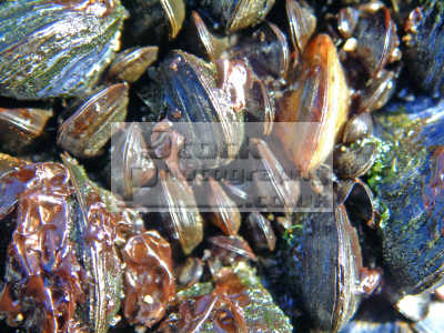 mussels mytilus edulis low-tide low tide lowtide drumtroddan bay arran. common bivalve popular seaside treat shellfish. shell animals marine life underwater diving mollusc isle arran highlands islands scotland scottish scotch scots escocia schottland united kingdom british