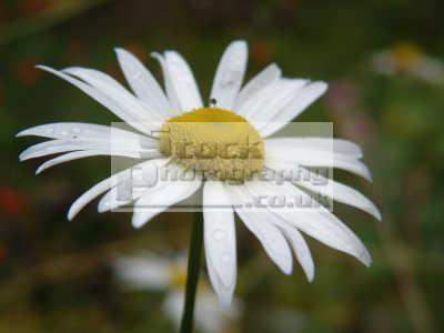 daisy bellis perennis flowers plants plantae natural history nature misc. dumfries galloway dumfrieshire dumfriesshire scotland scottish scotch scots escocia schottland united kingdom british