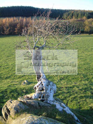 scarred ancient tree appears grow directly rock outcrop near kirkland dumfries galloway trees wooden natural history nature misc. dumfrieshire dumfriesshire scotland scottish scotch scots escocia schottland united kingdom british