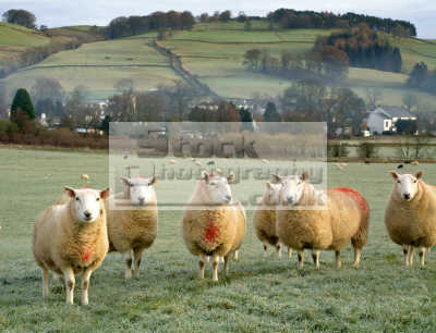 cheviot sheep bovidae ovis animals animalia natural history nature misc. fleece lambs winter dumfries galloway dumfrieshire dumfriesshire scotland scottish scotch scots escocia schottland united kingdom british