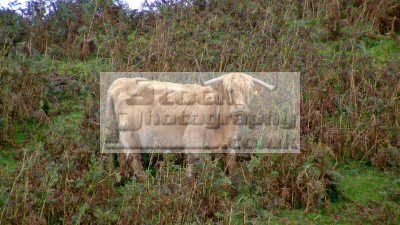 highland cow bracken late autumn tough breed doughty cattle thrives ambient conditions land. farmyard animals animalia natural history nature misc. beef dumfries galloway dumfrieshire dumfriesshire scotland scottish scotch scots escocia schottland united kingdom british