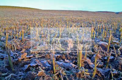 early morning sun lights field covered haw frost stubble kale eaten sheep. rural britain countryside rustic pastoral environmental uk farming winter arable dumfries galloway dumfrieshire dumfriesshire scotland scottish scotch scots escocia schottland united kingdom british