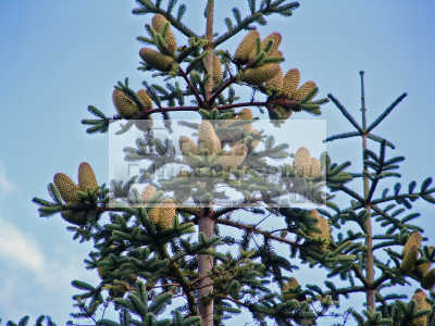 sitka spruce picea sitchensis tree commonly grown parts britain trees wooden natural history nature misc. dumfries galloway dumfrieshire dumfriesshire scotland scottish scotch scots escocia schottland united kingdom british