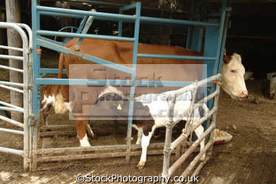 cow suckling calf natural mother agriculture farming history nature misc. beef cheshire england english angleterre inghilterra inglaterra united kingdom british